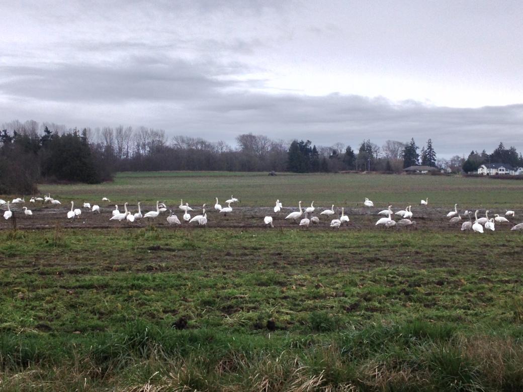 Swans near Dungeness