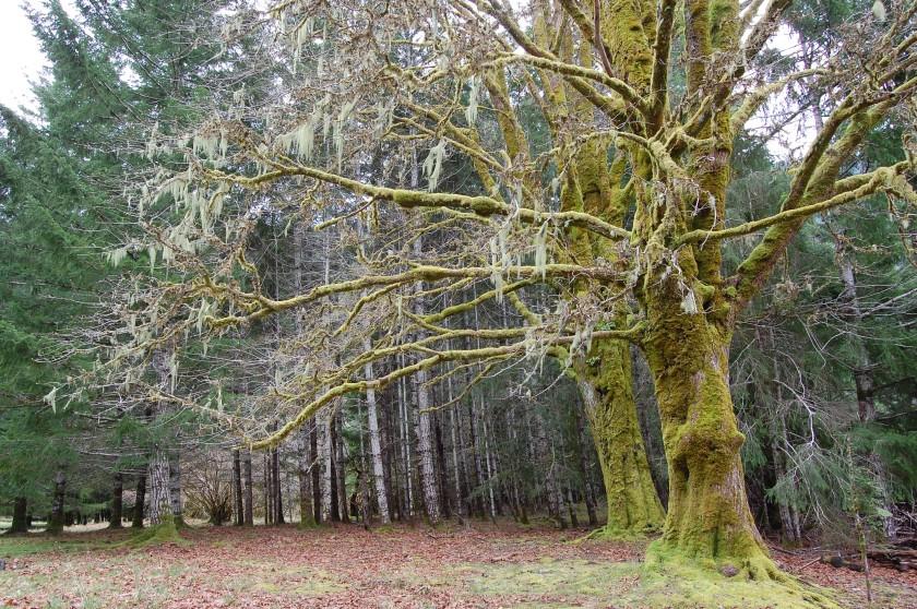Trees along Lake Crescent - along US 101 in Washington
