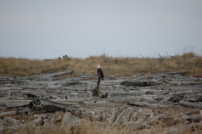Bald Eagle - Dungeness National Wildlife Refuge, Sequim, WA