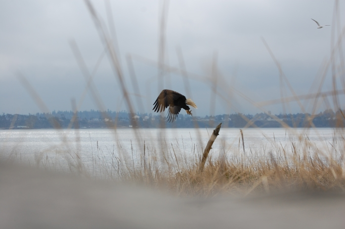 Bald Eagle - Dungeness National Wildlife Refuge, Sequim, WA