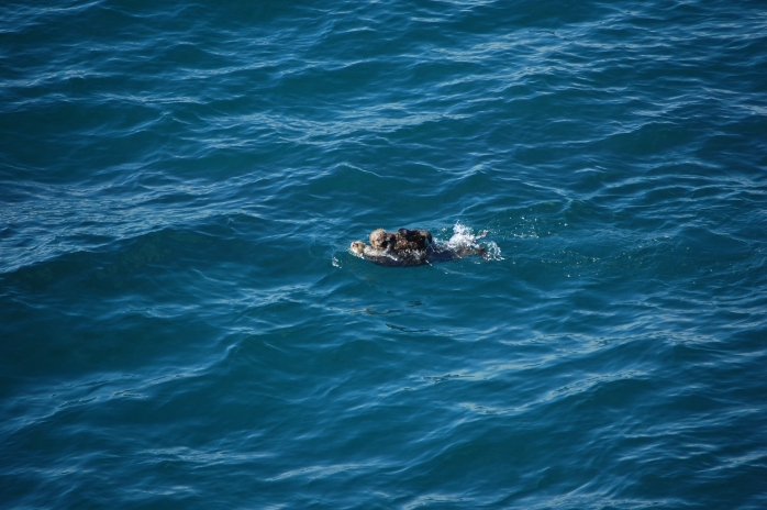 Sea otter with a baby on board - Cape Flattery, Neah Bay, WA