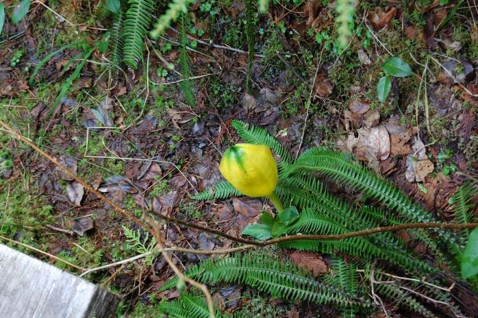 Skunk cabbage flower - Cape Flattery trail, Neah Bay, WA