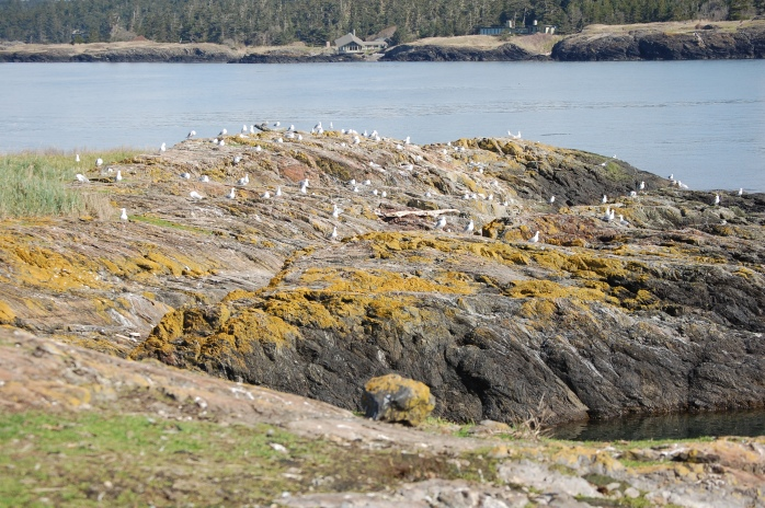 Hall Island - San Juan Islands NWR, Washington