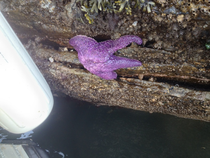Starfish on Colville Island - San Juan Islands, NWR, Washington
