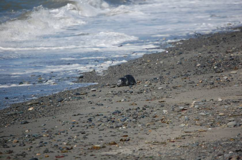 Baby Seal on Dungeness Spit